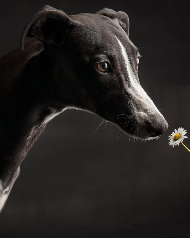 17 Best images about Greyhounds and Whippets on Pinterest ... - photo#22