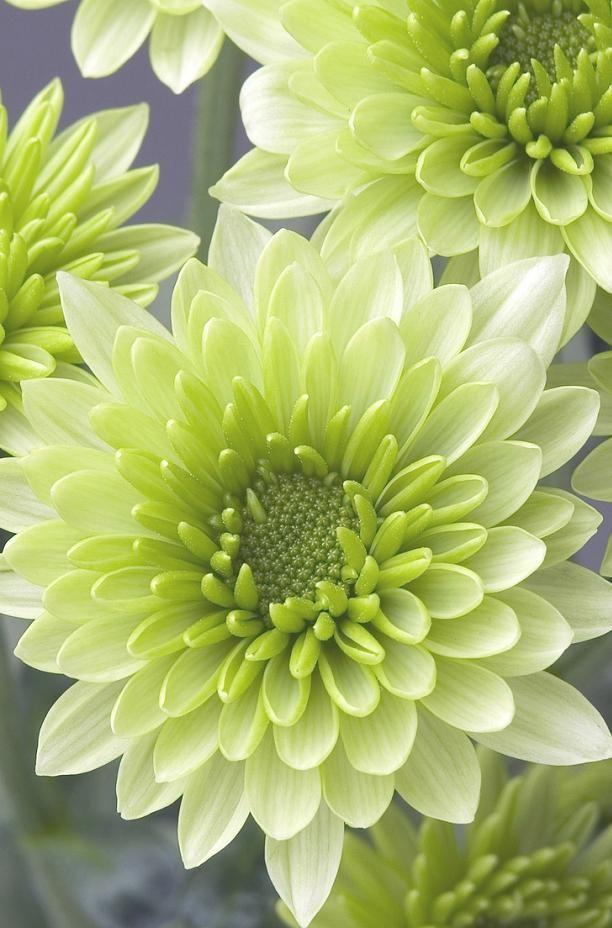 ✯ Chrysanthemum