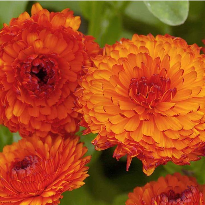 Calendula – October's Birth Flower
