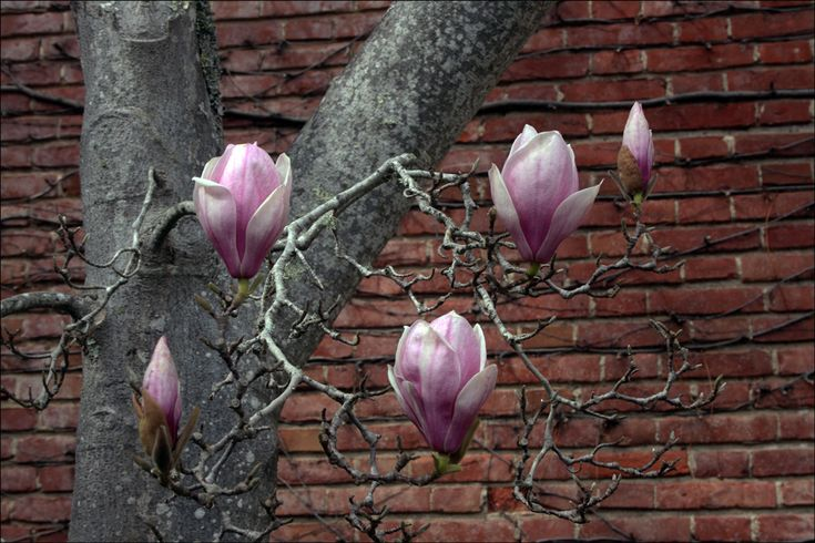 Magnolia Soulangiana (Saucer Magnolia, San Jose Magnolia) -  love the shape of the flowers and the branches!
