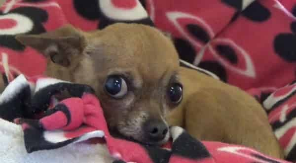 3 Months Old Chihuahua Living At The Kill Shelter Cries Every Time