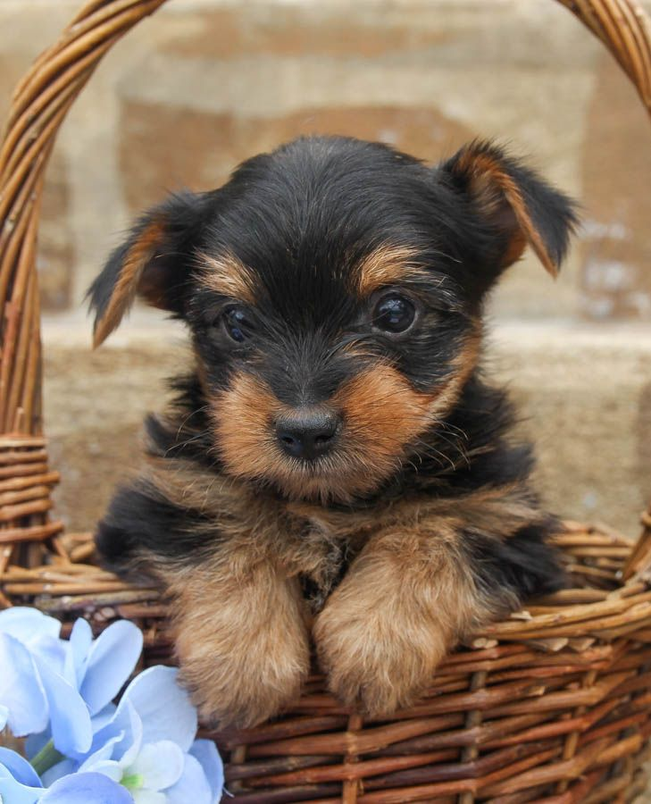 Puppies For Sale Yorkie Puppy For Sale Yorkie Puppy Yorkshire Terrier Puppies