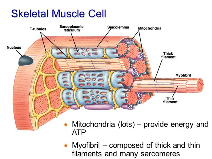Image result for muscle cell nucleus mitochondria