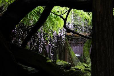 樹齢1200年の藤(牛島の藤)