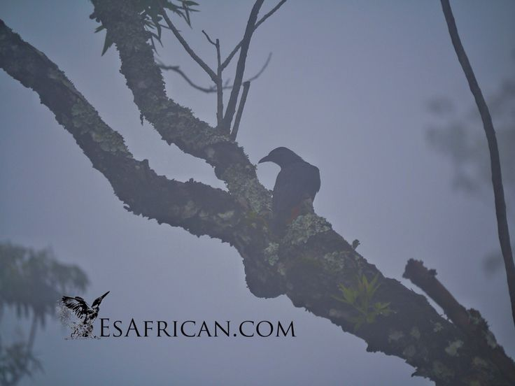 Another bird in the mist on Zomba Plateau...