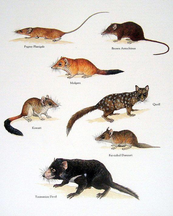 Marsupiales - Planigale pigmeo, Mugarra, Kowari, demonio de Tasmania - Vintage de los años ochenta libro Animal placa página