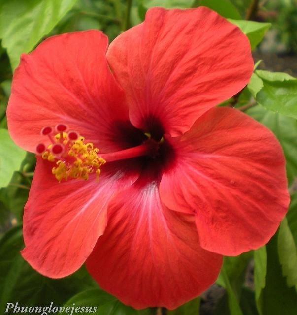 Vietnamese Named Bụp Râm Bụp English Names Hibiscus Chinese