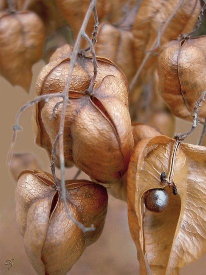 peony seed pod