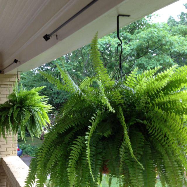 Macho Boston Ferns. A Great Idea For Open Porches.