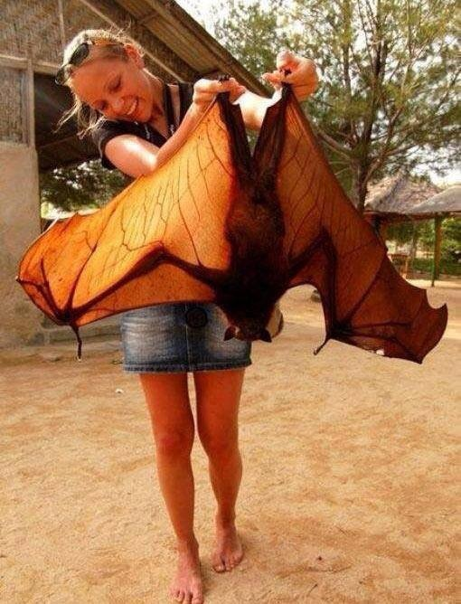 Fox Bat ~ The large flying fox is among the largest species of bat. It weighs (1.4–2.4 lb) and has a wingspan of up to (4 ft 11 in). As with all megabats, it has a fox-like face, hence its name. It lacks a tail and has pointed ears. The color and texture of the coat differ between sexes and age classes. Males tend to have slightly stiffer and thicker coats than females.