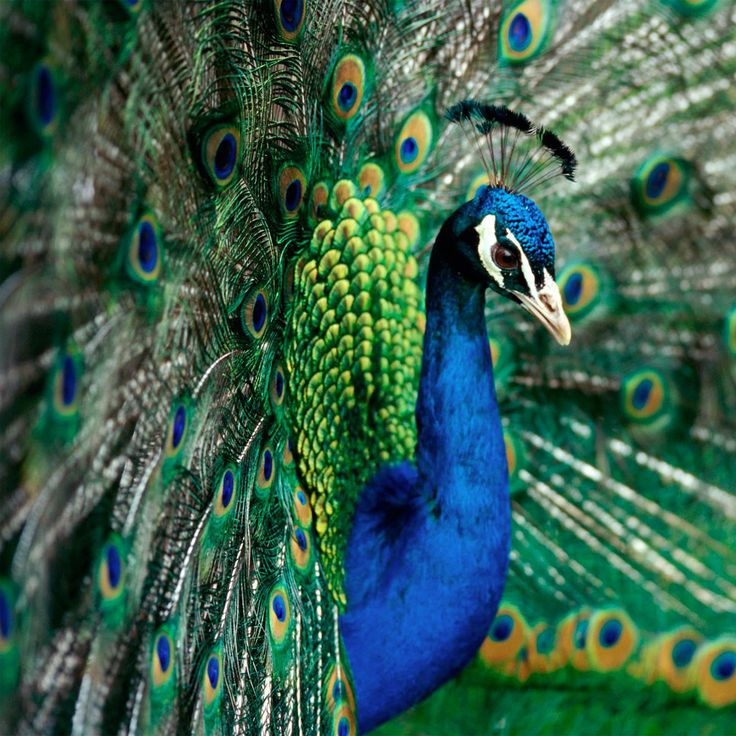 13 Best Peacock Quilt Images On Pinterest