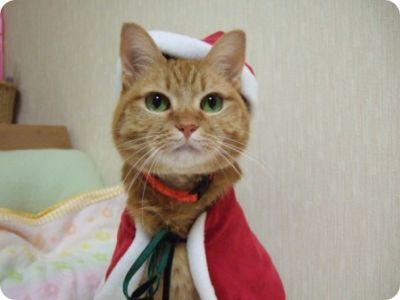 Gatos como Papa Noel