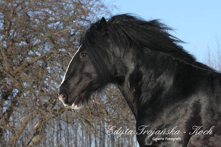 HODOWLA KONI - STAJNIA DAR-MAR - IMG_5703.jpg < 015 Koń rasy shire < HODOWLA KONI - Shire, Tinkery, Fryzy, Kuce szetlandzkie - STAJNIA DAR-MAR