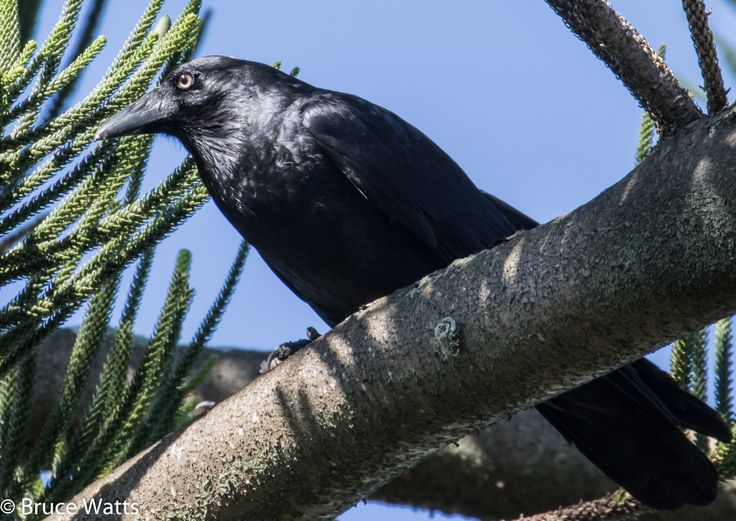 Forest Raven - Harrington