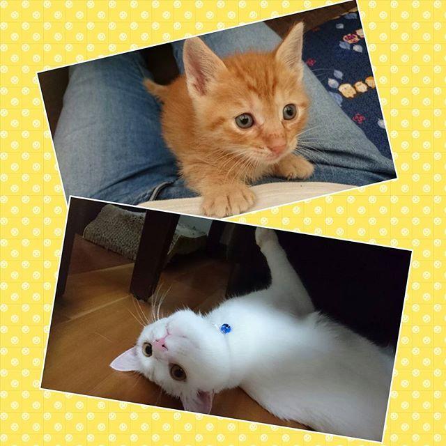 きなこ😺の里親さんが決まりサヨナラ してきました😢 やっぱり寂しいですね…。 でも少しの間だけでも一緒にいられたので良い思い出です😌✨ #cat#cats#pet#pets#animal#animals#animallove#pecocats#bestcatsintheworld#instacat#catstagram#meow#猫#ねこ#ネコ#みんねこ#かぎしっぽ#ほごねこ#保護猫#愛猫#愛猫家#あいねこ#白猫#しろねこ#しろねこ部#にゃんこ#にゃんこ部#にゃんこlove#にゃんこ先生#ねこ好きさんと繋がりたい