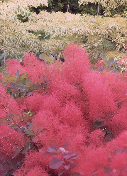 Cotinus 'Ruby Glow' smoke bush  A new, more compact form