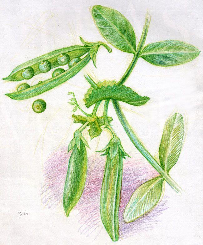 Waldorf ~ 5th grade ~ Botany ~ Peas ~ main lesson book