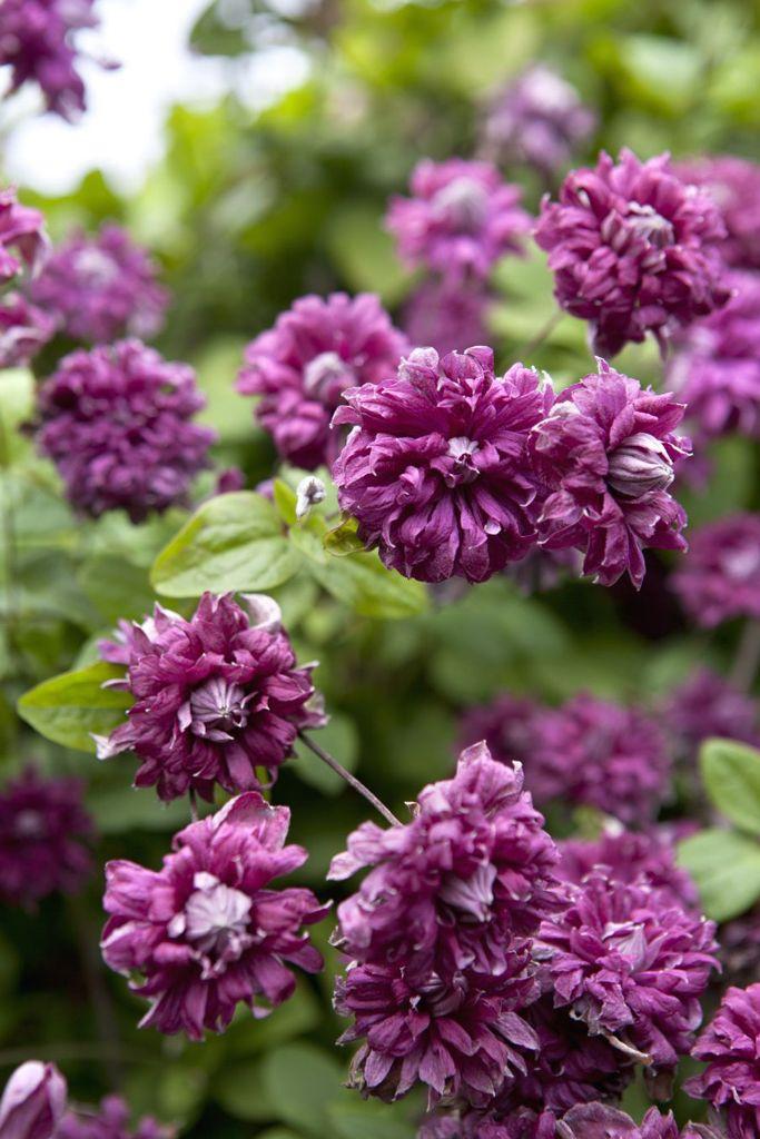 Clematis purpurea 'Plena Elegans'