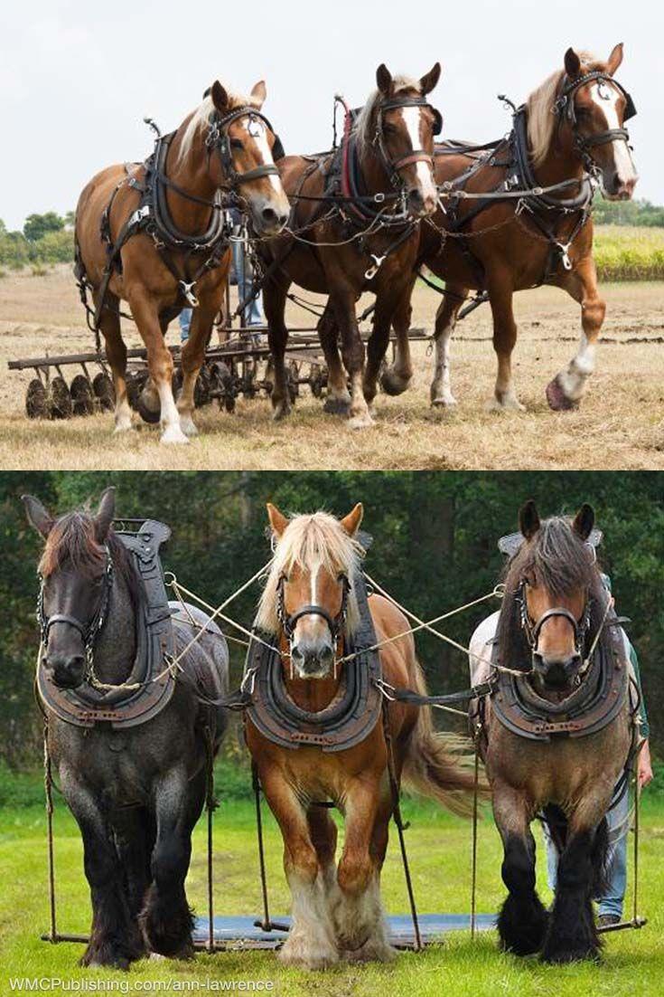 Working Horses Draft Horses Horses Belgian Draft Horse