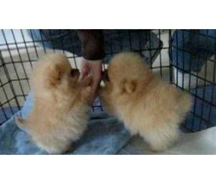 sdlkjfsdlkfsdl Pomeranian Puppies for sale is a Pomeranian Puppy For Sale in East Haven CT