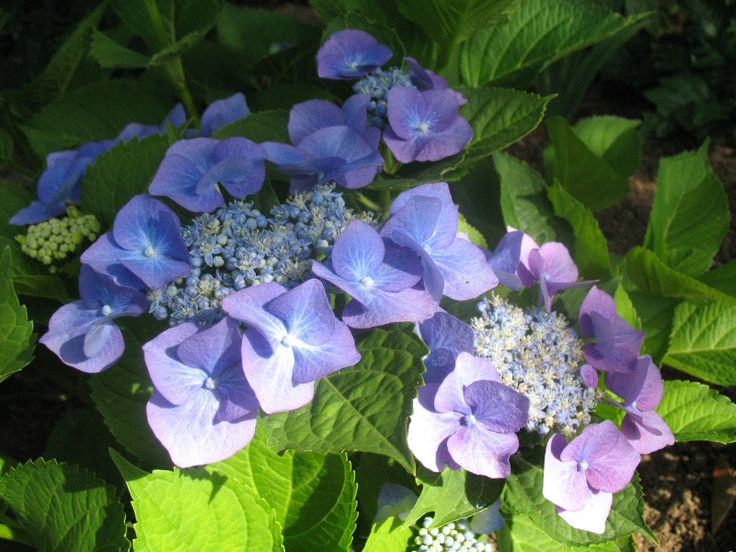 28 best hortensia hydrangea images on pinterest for Hortensia arbustif