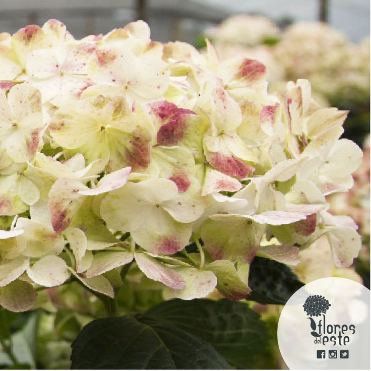 We offers the grandiosity of us hydrangeas in its most appreciated colors. The blue hydrangea with light blue tones which reflect stability and truth; the white associated with light, kindness and purity; the green and the mini green which denote growth, freshness and harmony in all spaces. #floresdeleste