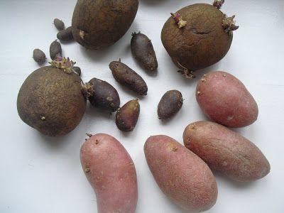 Wo ein kleiner alter Eimer hinpasst, da können auch Kartoffeln angebaut werden. Auf Balkonen, auf winzigen Hinterhöfen, in kleinen Ecken, a...