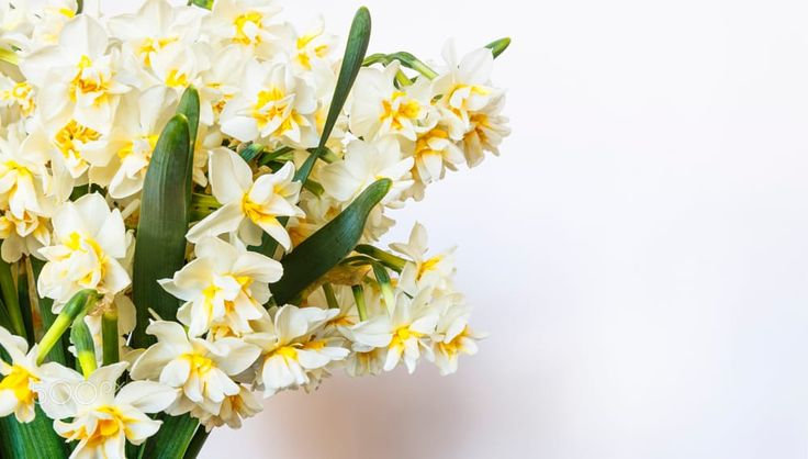 Bouquet of daffodils on a white background by Alexander Melnikov on 500px