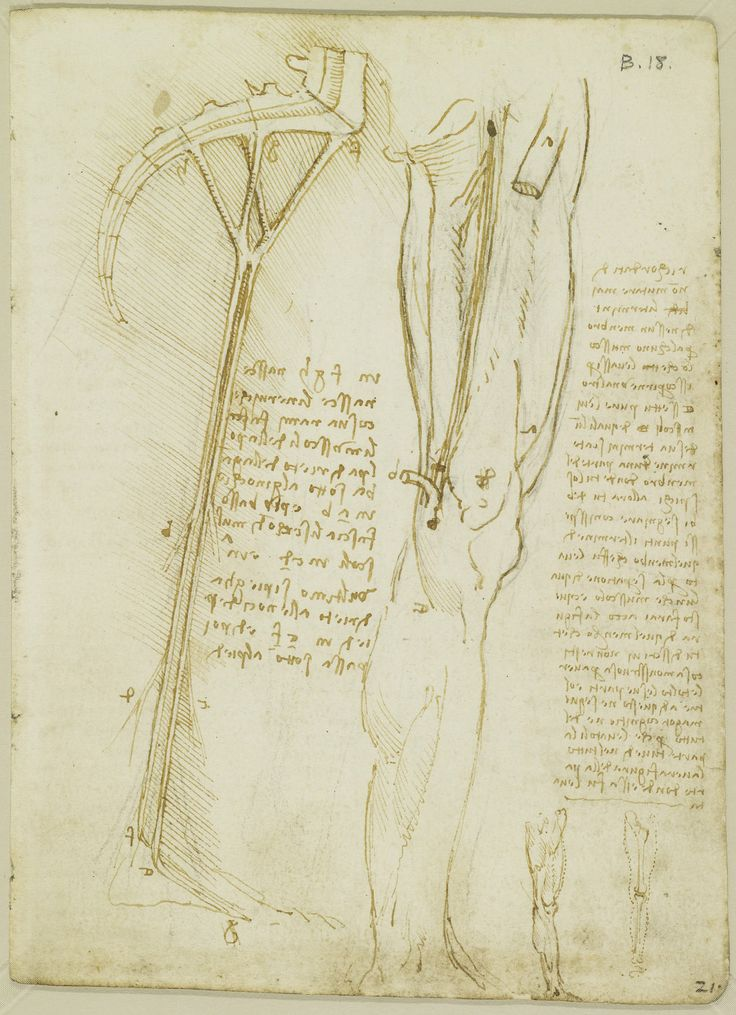 Leonardo da Vinci, 1452-1519, Italian, The muscles and nerves of the leg, c.1508.  Pen and ink over black chalk on paper.  Royal Collection Trust, Windsor.