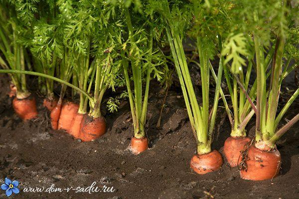 Выращивание моркови в открытом грунте | Частный Дом