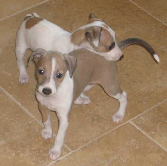 Italian greyhound puppies arizona Duty Pictures Gallery