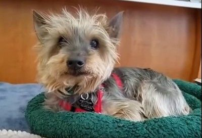 Meet Gandalf! This adorable Yorkie is sweet, loving, and social