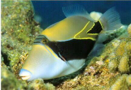 reef triggerfish hawaii hawaii kauai oahu