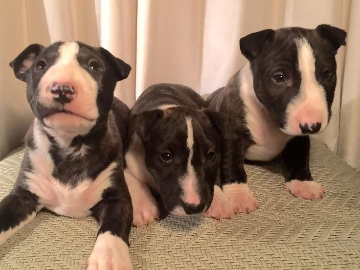 17 best images about miniature bull terrier on pinterest for Best dog boarding los angeles