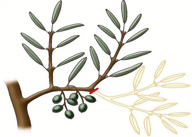 Taille de l'olivier - Taille de l'olivier