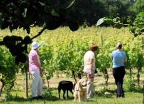 Walk the vines with owners Iain and Jane. Dog-friendly Oatley Vineyard, a small, international-award-winning vineyard in Somerset producing crisp, dry white wines.