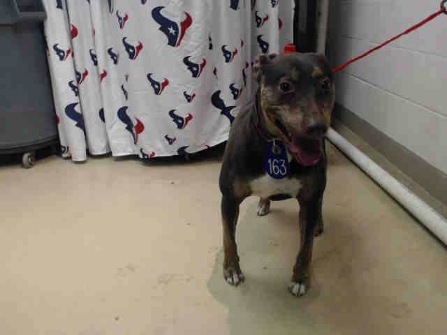 12/29/16-BEAUTIFULLY COLORED DOBERMAN, MIXED WITH PITTIE - WILL BE KILLED- HOUSTON HIGH KILL FACILITY IS OVER CAPACITY!! - OTIS - ID#A474715 My name is OTIS I am a neutered male, chocolate and white Doberman Pinscher mix. The shelter staff think I am about 4 years old. I have been at the shelter since Dec 28, 2016. This information was refreshed 50 minutes ago and may not represent all of the animals at the Harris County Public Health and Environmental Services