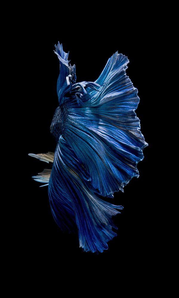 5 Schonsten Betta Fisch In Der Welt Erstaunliche Tatsache Uber Betta Fisch