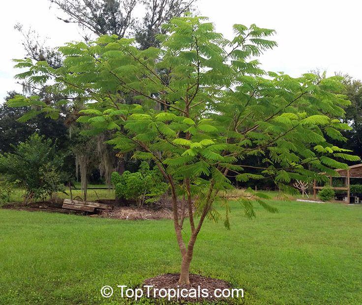 Enterolobium cyclocarpum, Monkey Ear, Ear Pod Tree, Elephant Ear Tree, Eartree, Guanacaste Tree, Arbol de Guanacaste. Por indoor