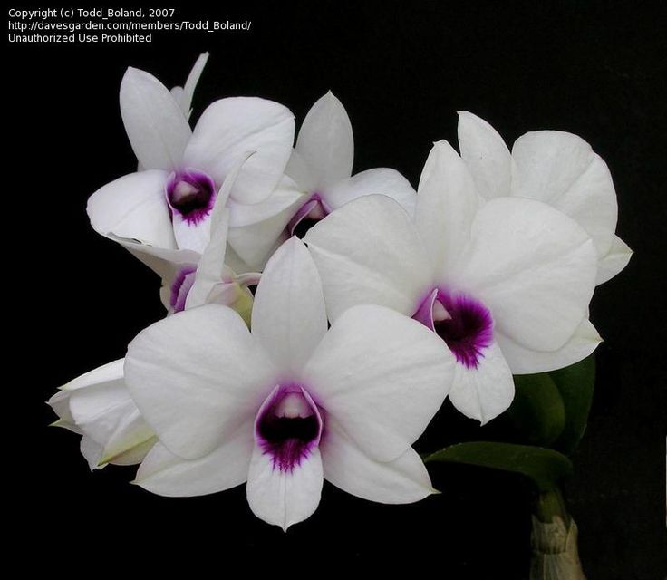 cooktown orchid - can be different colours from white thru to purples