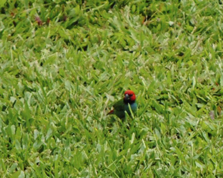 Cute Little Bird - Fiji - Such vibrant colours