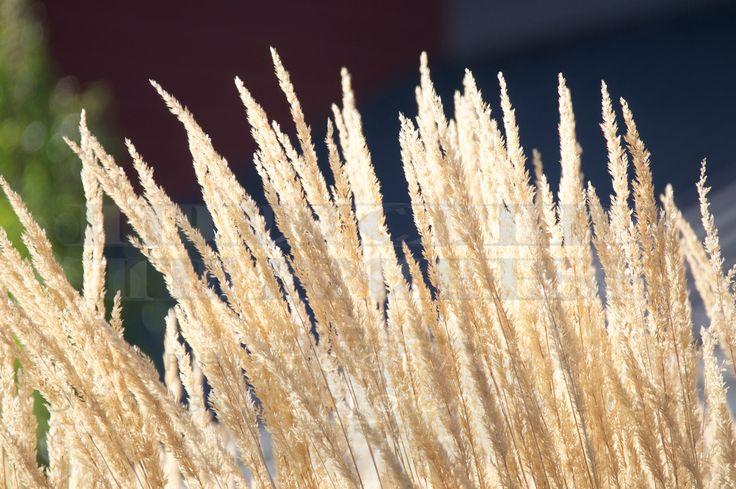 Tall golden grass backlit late summer