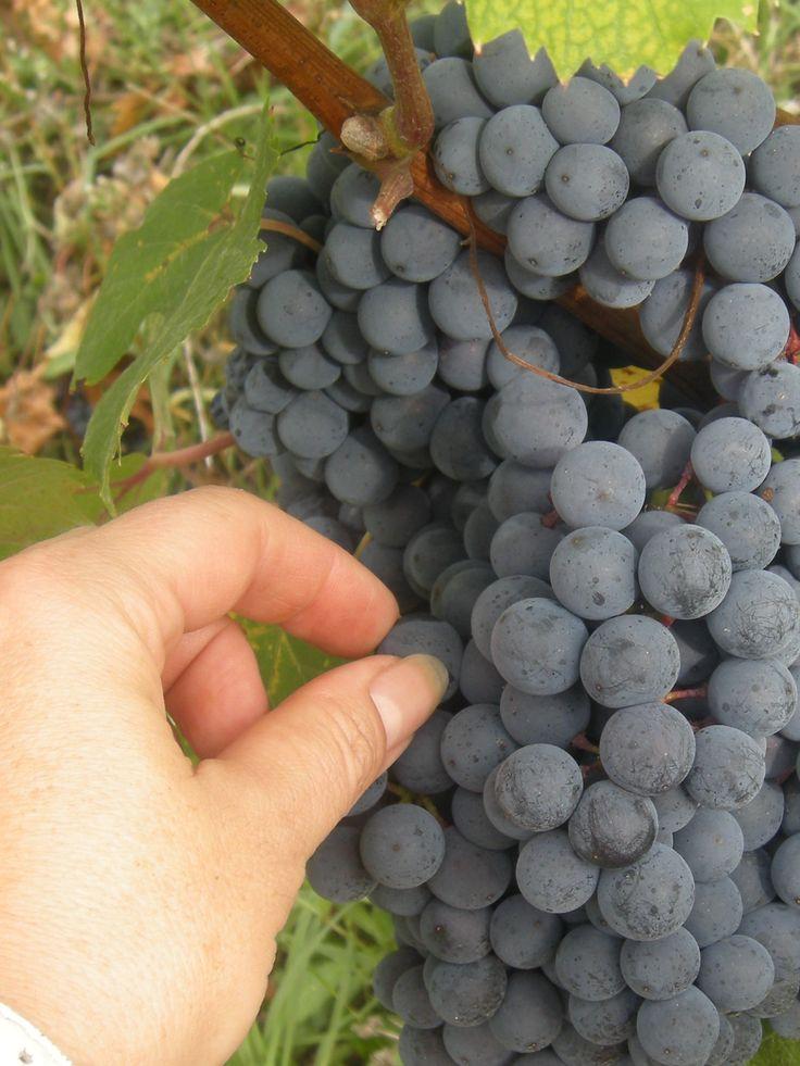 mmm... sweet   Tacchino Raffaele Wines from Piedmont Italy