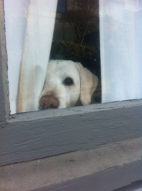 """Awe...looks like a lab! """"Please Don't Leave"""" ---- [Photograph by Yvonne Laurence - December 14 2011]"""