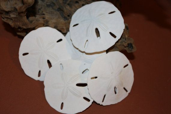 "10) pcs, Sand Dollars, 2 1/2"" - 3"", large sand dollars, sand dollars, free shipping, sand dollars for projects, sand dollar place card, SD-A by runningtide. Explore more products on http://runningtide.etsy.com"