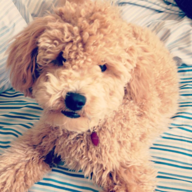 My Mini Goldendoodle London She Is Full Grown In This