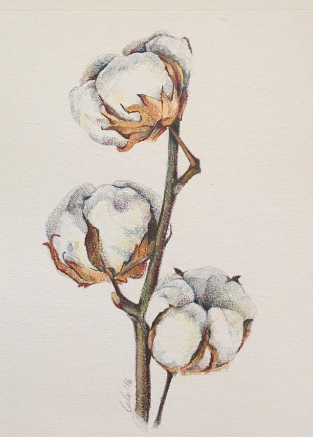 Cotton plant illustration. Pencil color