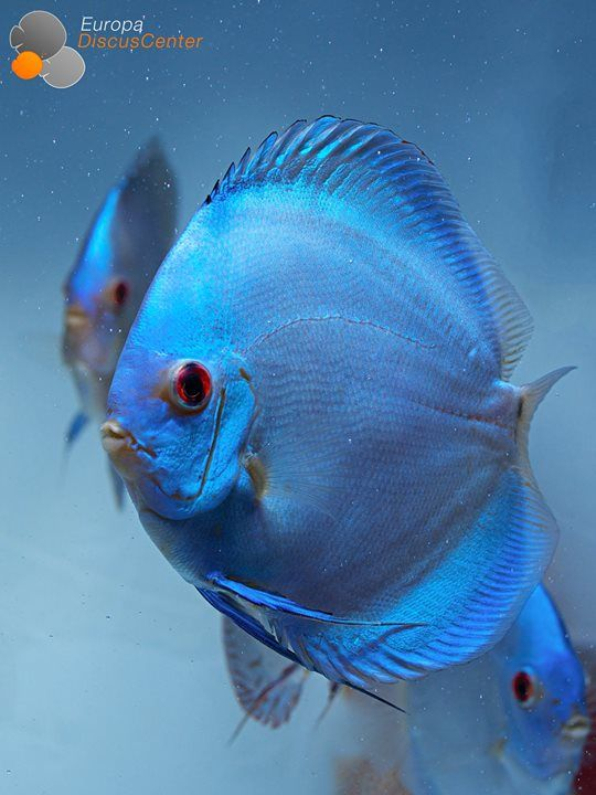 Aktuelle Diskus-Bilder | Europa Discus Center - Blue Diamond Diskus  #Discus #Diskus #Diskusfische #Europadiscuscenter #Aquarium