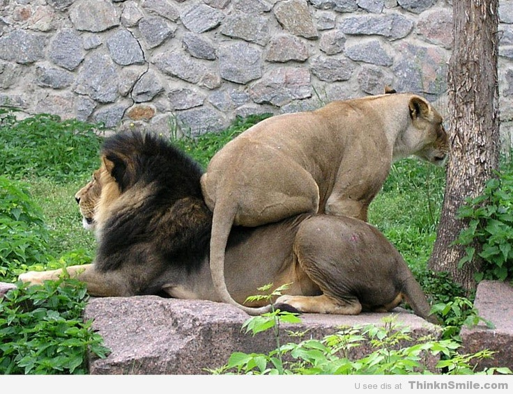 Dammit Woman, Get Off My Back: Big Cat, Lion, Laughing, Animal Pictures, Funny Pics, Quote, Funny Stuff, Even, Dammit Woman