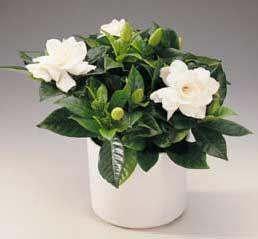 Gardenia, Jazmín del Cabo